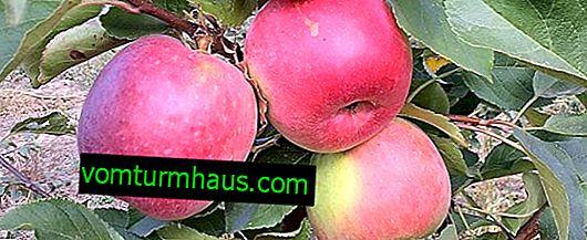 Detaljerade egenskaper och egenskaper hos växande äppelträd av Bylina-sort