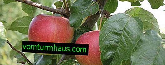 Характеристики и селскостопански техники за отглеждане на ябълкови дървета от сорта Elisa