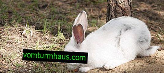 Kwas mlekowy dla królików: instrukcje użytkowania, dawkowania i proporcji