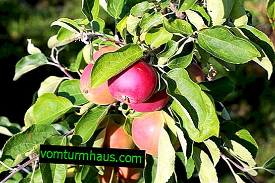 Характеристики на отглеждането и грижите за сорта ябълка Женева