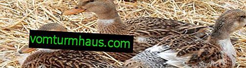 Baschkirische Enten: Beschreibung der Rasse, Merkmale des Inhalts, Pflege und Fütterung