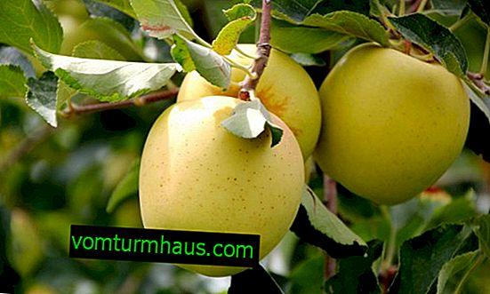Características y técnicas agrícolas del cultivo de manzanos Aynur.