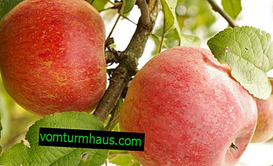 Features growing apple varieties Veteran