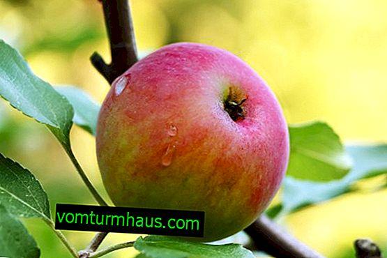 Apple-sortsdrøm: botanisk beskrivelse og sorts karakteristika