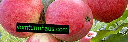 """Raznolikost jablan """"Bolotovskoe"""": opis in značilnosti gojenja"""