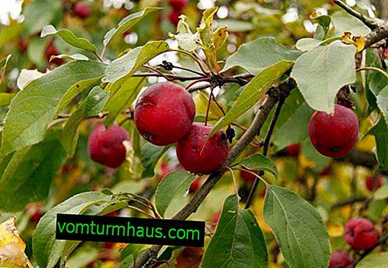 Variedad de manzano Ranetka: descripción y características detalladas, características y reglas de crecimiento