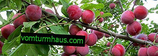 Odrůdy švestek Mashenka: vlastnosti a vlastnosti kultivace