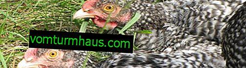 Mechelen gøgrase af kyllinger: karakteristika, træk ved avl derhjemme