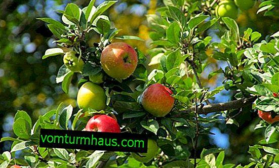 Funktioner av plantering och vård av äppelträdet för goda nyheter