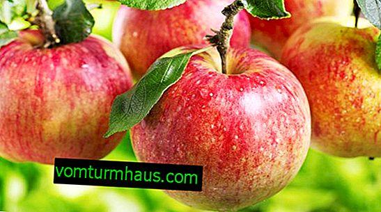 Подробни характеристики и особености на отглеждане на Pervouralskaya ябълково дърво