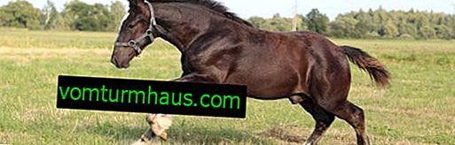 Camión pesado de caballos Vladimir: características, características de la cría en casa