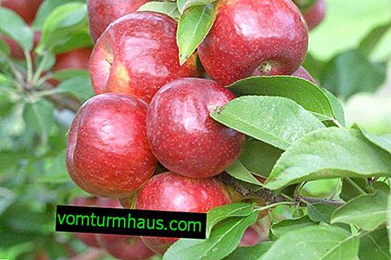 Caractéristiques de la culture de la variété de pomme chérie