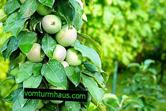 Jabolčna sorta Malyukha: značilnosti in značilnosti gojenja