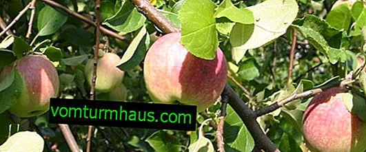 Variation av äppelträd Vityaz: kännetecken och funktioner för odling