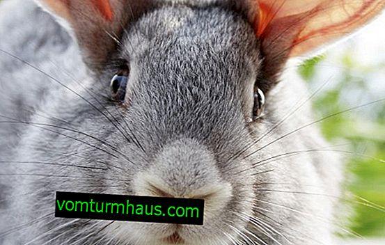 Mohou se králíci krmit syrové a vařené brambory?
