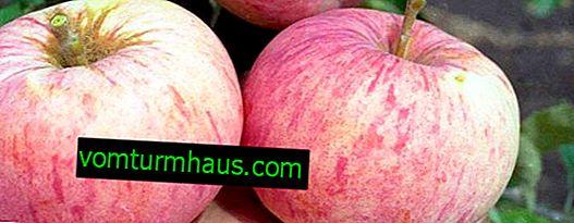 Orlinka æbledyrkning og pleje