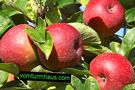 Značilnosti gojenja in skrbi za kolonizirano jablano sorte Ostankino