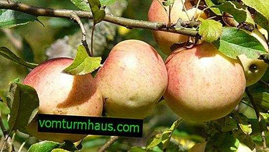 Merkmale des Anbaus und der Pflege des Apfelbaums