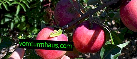 Characteristics and features of growing Williams Pride apple trees