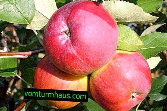 Разнообразие от ябълково дърво Арбат: описание и подробно описание, правила за отглеждане