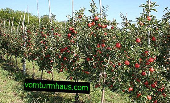 Kako izbrati pravo sadiko jablan