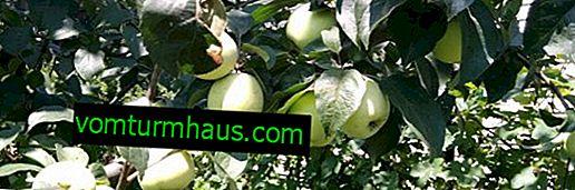 Le caratteristiche principali della varietà e ibridi, tecniche agricole per la coltivazione di mele Sugar Arcad