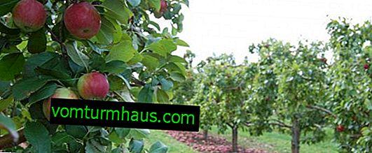 Funktioner i odlings- och vårdregler för olika äppelträd