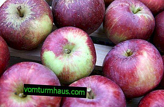 Hlavní rysy pěstování spartánských jablek