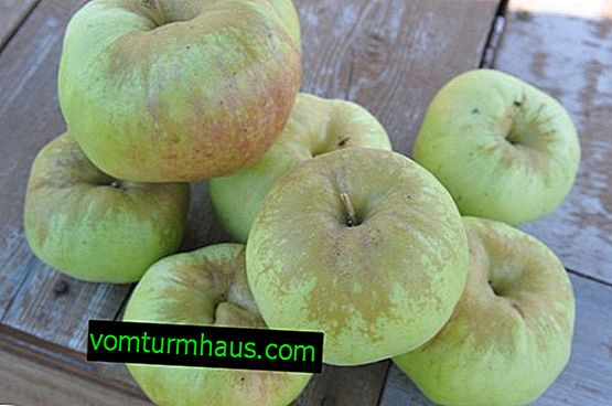 Variety of apple trees Bogatyr: characteristics and features of cultivation