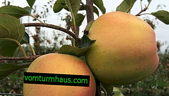 Funkce výsadby a péče o jablko Zimní banán