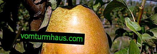 Hoverla pæresort: beskrivelse og karakteristika, træk ved vellykket dyrkning