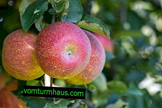 Funkcje sadzenia i pielęgnacji odmiany jabłek Marat Busurin