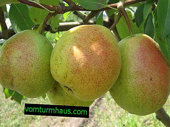Botanický popis a vlastnosti pěstovaných hrušek odrůdy Severyanka Krasnoshchechaya