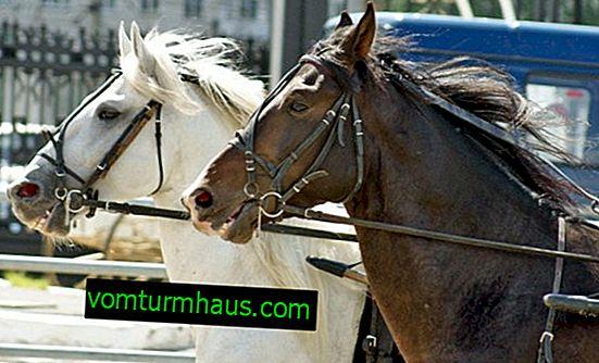 Hästtillbehör: hur man gör det själv, hur man sätter på det på rätt sätt