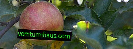 Funktioner av plantering och vård av söta 16 äppelträd