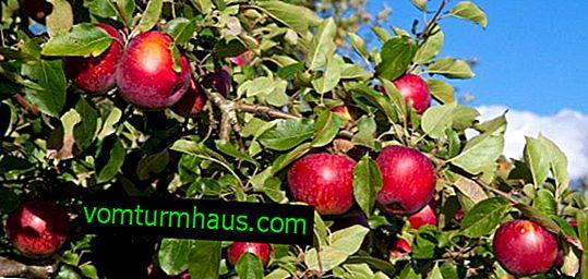 Características do plantio e cuidados de uma variedade de macieiras Syabryna