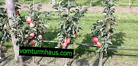 Značilnosti oskrbe jablan v obliki debelega črevesa