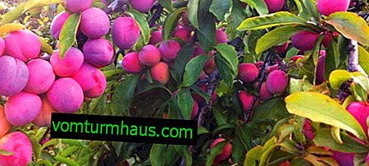 Caractéristiques de la beauté de la Mandchourie à la prune et de ses soins