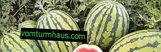 Funktioner ved dyrkning og pleje af vandmelon Bedouin F1
