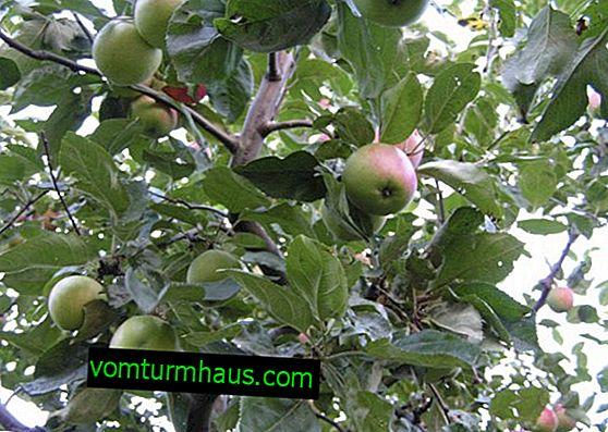 Funktioner i äpplesorten Sun