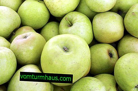 Botanični opis in značilnosti gojenja jablan Mutsu
