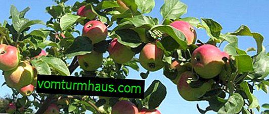 Wie behandelt man Krebs am Apfelbaum?