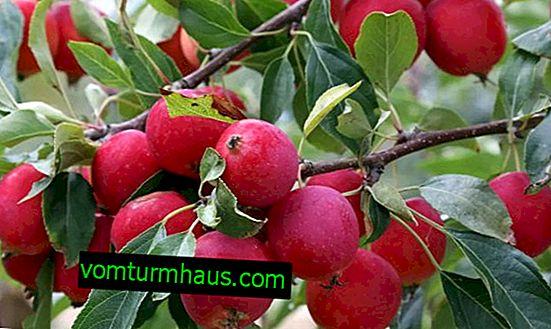 Pommier Berry: caractéristiques, notamment plantation et soin