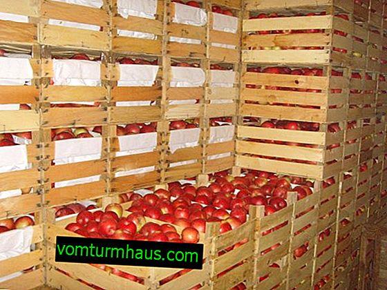 Hvordan holder man æbler friske i kælderen i lang tid?