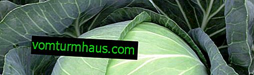 Cabbage Brigadier F1: features and characteristics of the variety, cultivation and care