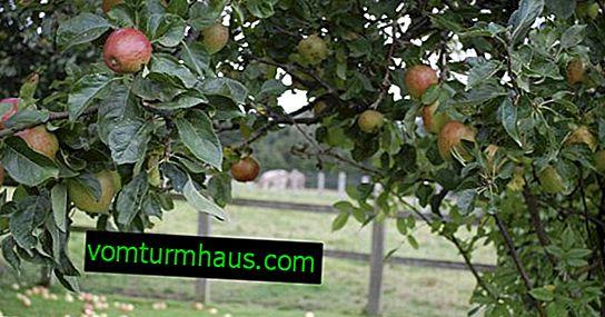Funktioner ved at vokse og pleje æblevaren Lingonberry