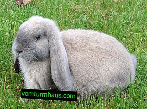 Kaninchen Französisch Widder: Beschreibung der Rasse, Regeln für die Wartung und Pflege
