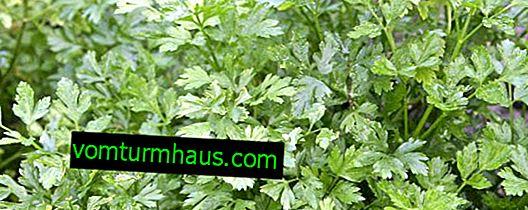 Merkmale der Anpflanzung von Petersilie in einem Gewächshaus im Winter und Pflege dafür