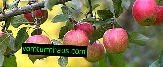 Variety of apple tree Breburn: characteristics and features of cultivation