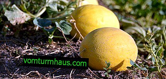 Maladies et ravageurs du melon et leur contrôle